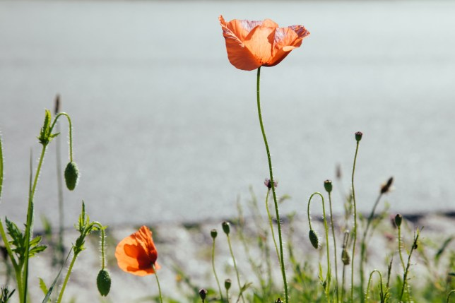 greens and poppies-5