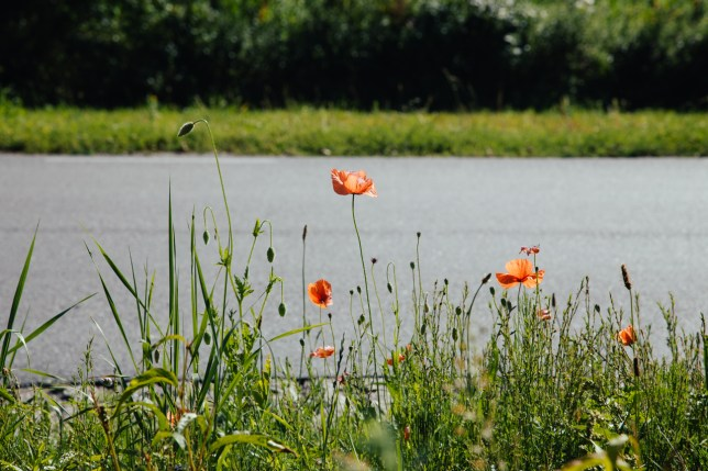 greens and poppies-6