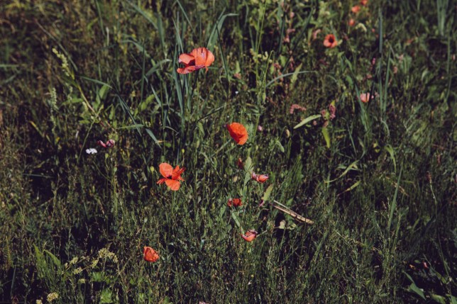 greens and poppies-7