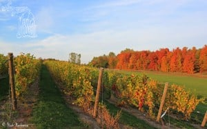 The Awesome Mitten Wallpaper - Fall Vineyard Nick Nerbonne