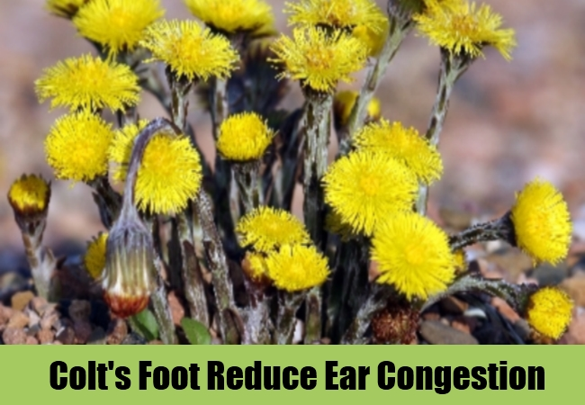 Colt's Foot Reduce Ear Congestion