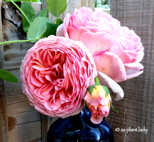 Medium Of Abraham Darby Rose