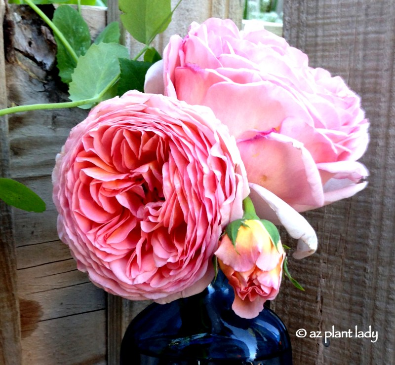Large Of Abraham Darby Rose