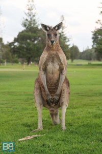 kangaroo yamba australia east coast backpacker-1