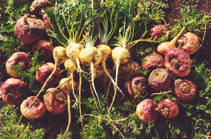 maca-root-herbs-img