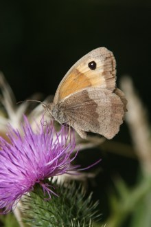 butterfly-on-thistle-tony-curd-2014