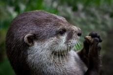 Otter & Pebble