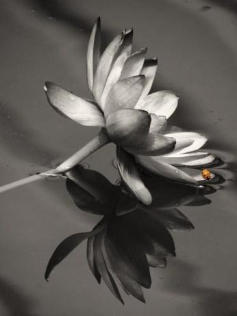 Lotus Flower & Ladybird 08-03-2016
