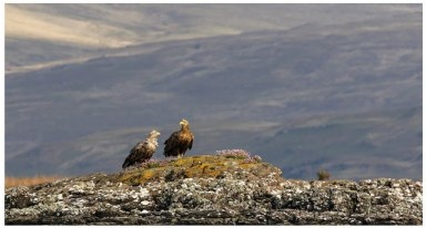 Sea eagles purched on cliff A3