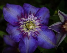 clematis-2016-marion-sidebottom