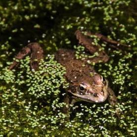 Common Maderian Frog - Tony Curd 2017