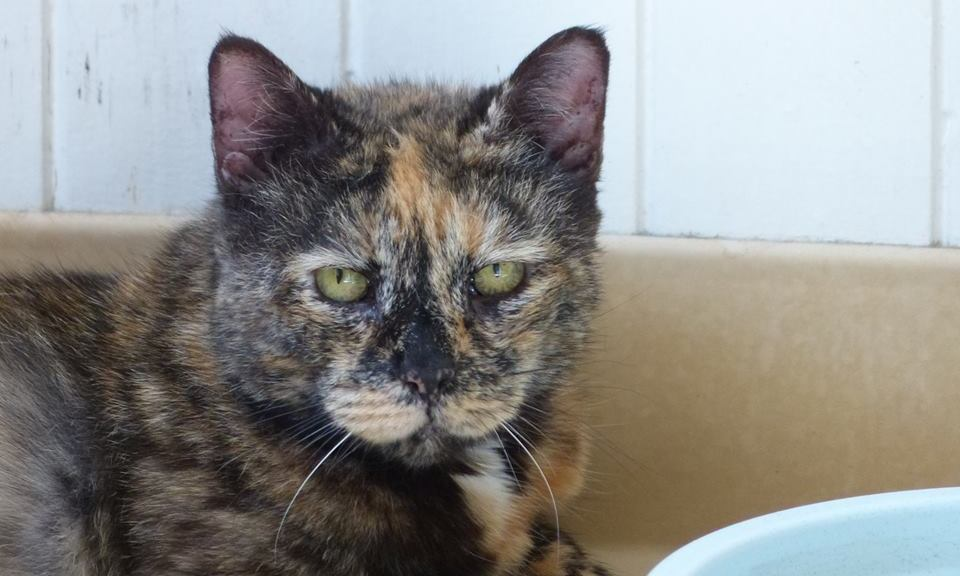 Diabetic Cat Sarjenka Needs Dental Care