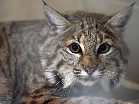 Rocky is a Hybrid Cat Who Is a Mix of Maine Coon and Bobcat