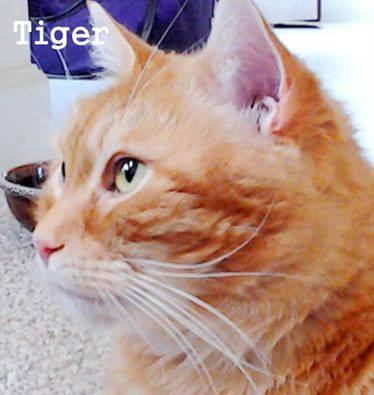 Diabetic Cat Tiger Is Looking for a Home