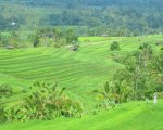 tourist destinations, jatiluwih, bali, unesco, world, heritages, sites, rice, paddy, terrace, rice terrace, jatiluwih rice terrace, unesco world heritages