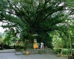 banyan tree, tampak siring, bali, holy, water, temple, tampak siring temple, holy spring temple