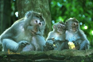Macaca fascicularis, ubud, monkey, forest, bali, places, interest, ubud monkey forest, monkey forest, places of interest, bali places of interest, places to visit