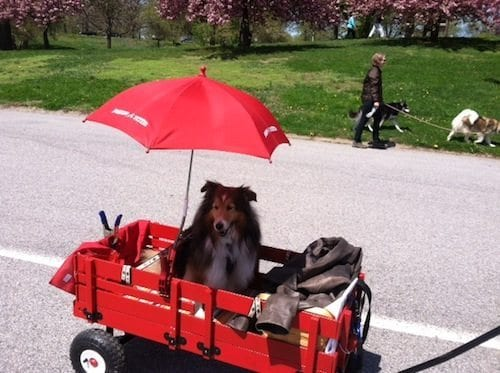 This senior collie considered sun protection in the transportation bargain.