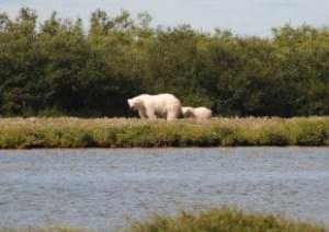 Mother polar bear and her cub, captured on a Park School Arctic research trip. Photo courtesy of J. Gorman.