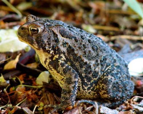 Eastern American Toad via Wikimedia Commons.