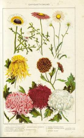 Historical painting of chrysanthemums from the New International Encyclopedia, 1902. Photo via Wikimedia Commons.