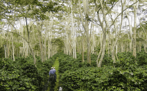 Shade-grown coffee is usually farmed by small scale farmers.