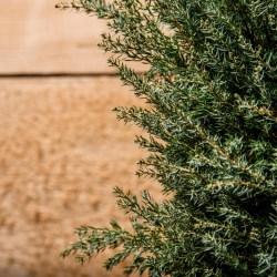 Small Crop Of Gold Cone Juniper