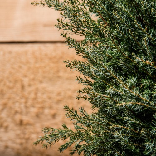 Medium Of Gold Cone Juniper