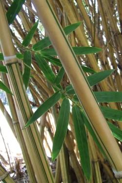 Small Of Alphonse Karr Bamboo