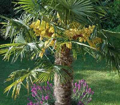 Szorstkowiec Fortunego (Trachycarpus fortunei) – wygląd, odporność i zastosowanie