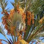 Palma daktylowa z pestek