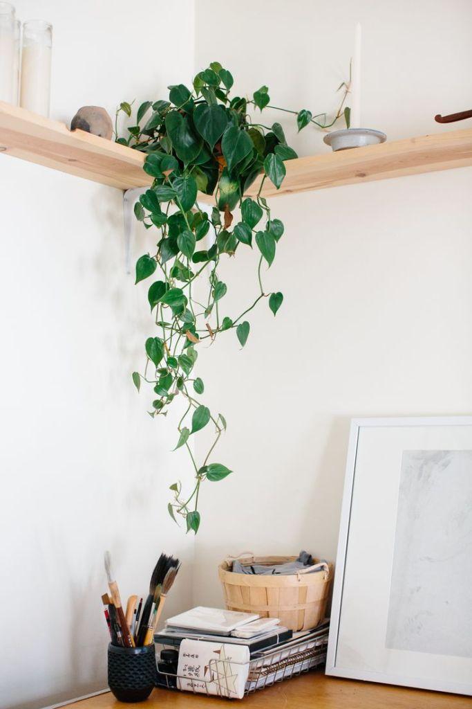 Epipremnum rośliny do biura