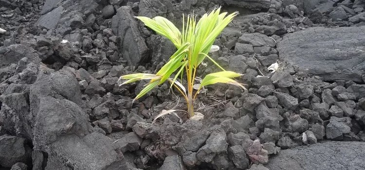 Jak nie zimować palmy – smutna historia daktylowca