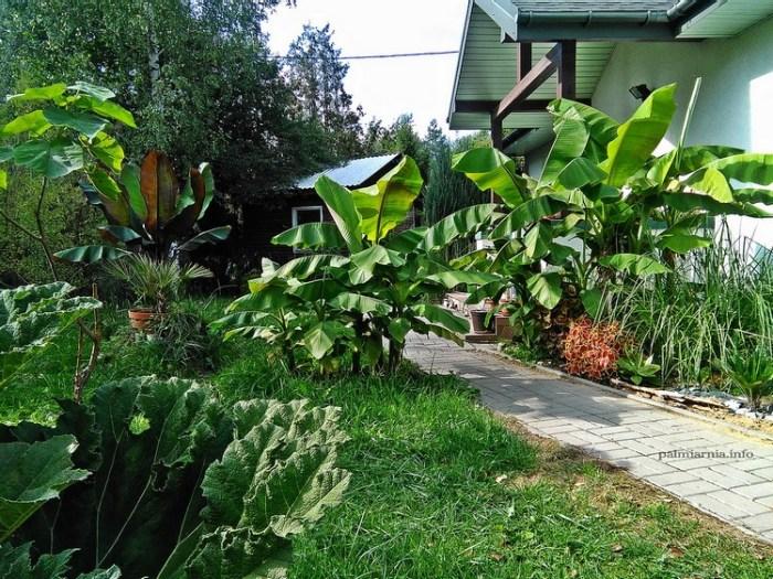 Uprawa bananowców w Polsce