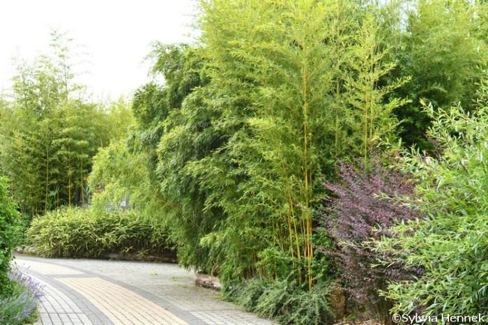 Bambusy w opolskim zoo - bambus w polsce