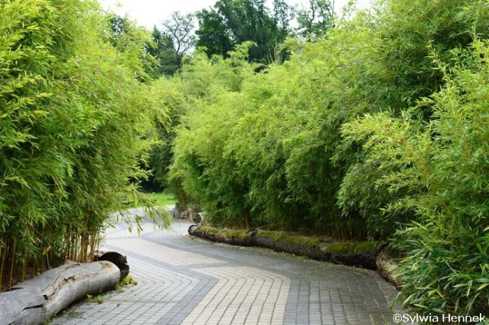 bambusy-zoo-drzewiaste-mrozoodporne-spectabilis_mini