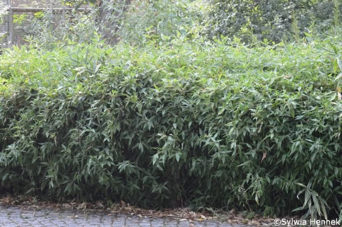 Żywopłot z bambusa Shibatea ruszczykolistna