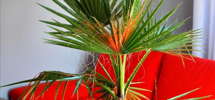 Waszyngtonia – piękna palma z nasion – jak je wysiać?