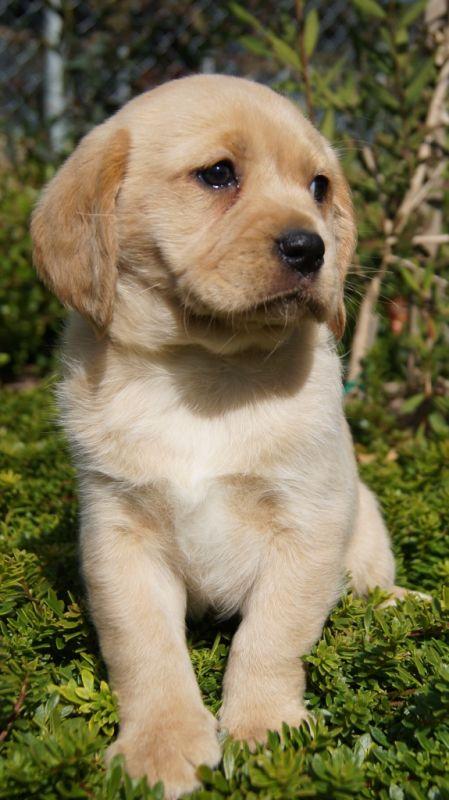 Banksia Park Puppies Cavador