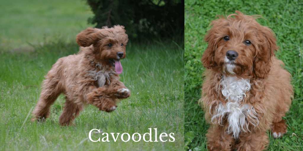 Cavoodles Header Banksia Park Puppies