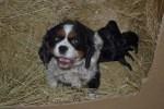 Banksia Park Puppies Cavalier