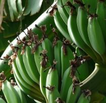 banán2