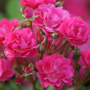 Orléans Rose