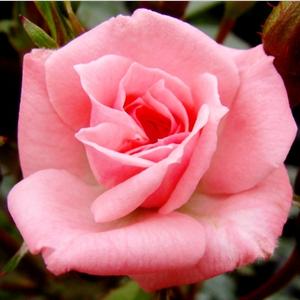 Rennie's Pink
