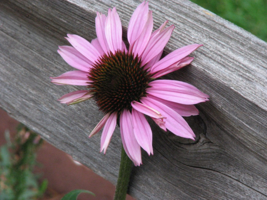 coneflower on wood