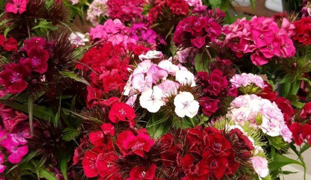 Winter Dianthus