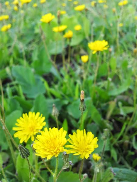 מנסיגת צמחי הקיץ אל לבלוב צמחי החורף - ניסנית דו קרנית, מקומי צמוד קרקע חורפי