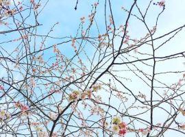 cherry-blossom-in-paris
