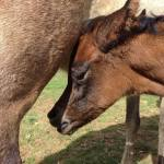 Anaza Mishaal filly out of an Imperial Al Kamar daughter