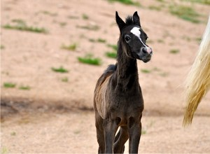 Anaza Mishaal colt out of an Imperial Immarouf daughter